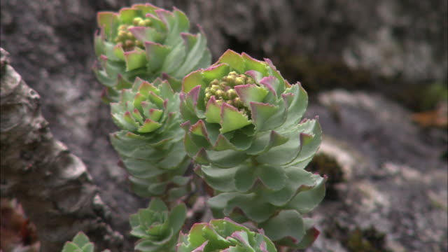 roseroot (sedum rosea) on mountain side, snowdonia, wales - snowdonia stock videos & royalty-free footage
