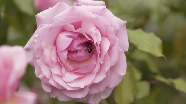 roses and bees - stamen stock videos & royalty-free footage