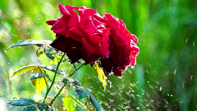 Roses and water drops