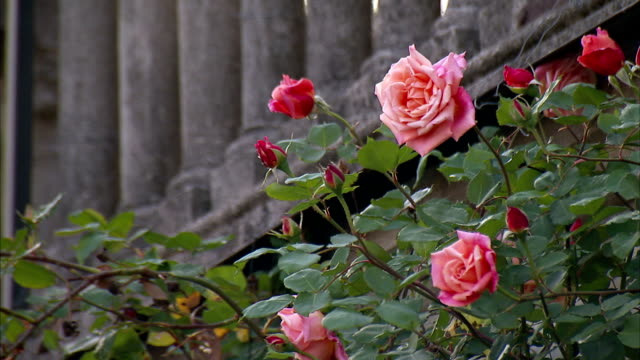 roses bloom near stone columns. - rose stock videos & royalty-free footage