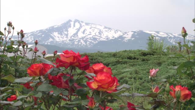 roses grow near mt. chokaisan in japan. - 鳥海山点の映像素材/bロール
