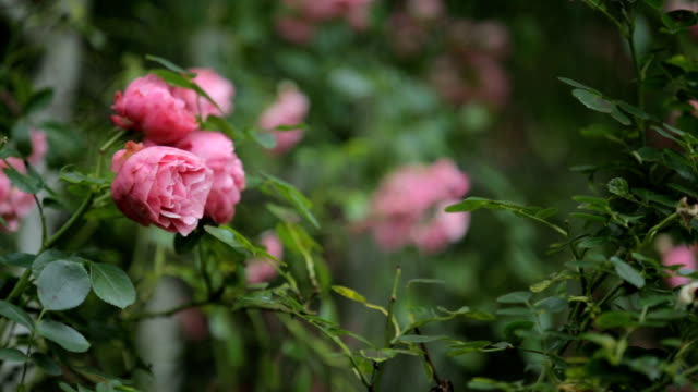 roses in the garden - hedge stock videos & royalty-free footage