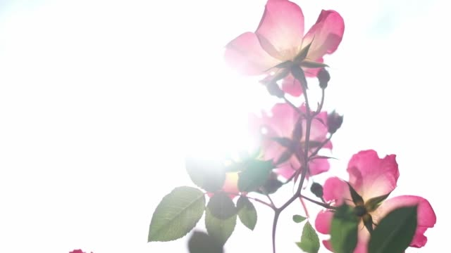 roses moving in the wind - swaying stock videos & royalty-free footage