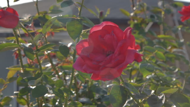 roses / south korea - stationary process plate stock videos & royalty-free footage