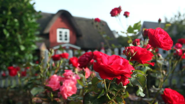 Roses with a nice house in the background