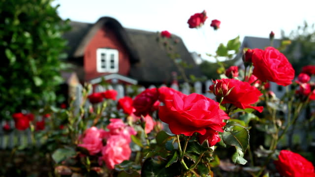 stockvideo's en b-roll-footage met roses with a nice house in the background - formal garden