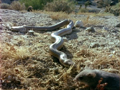 ms rosy boa, strikes and catches desert mouse, usa - violence stock videos & royalty-free footage