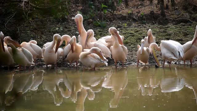 rosy pelican catching fish a pond at assam state zoo, on february 14, 2021 in guwahati, india. the assam state zoo-cum-botanical garden reopened for... - pelican stock videos & royalty-free footage