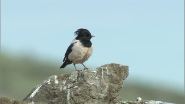 Rosy starling on rocks, Qinghe County