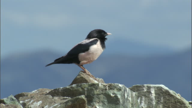 rosy starling takes off from rocks, qinghe county - songbird stock videos & royalty-free footage