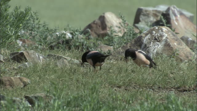 Rosy starlings gather nesting material, Qinghe County