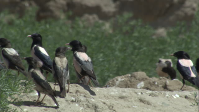 Rosy starlings perch on rocky outcrop, Qinghe county,
