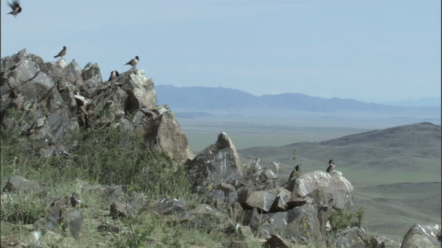 vidéos et rushes de rosy starlings perch on rocky outcrop, qinghe county - outcrop