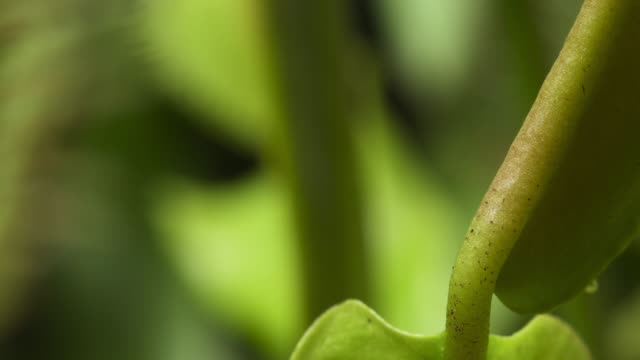 vidéos et rushes de tl rotate around growing venus flytrap, uk - tige d'une plante