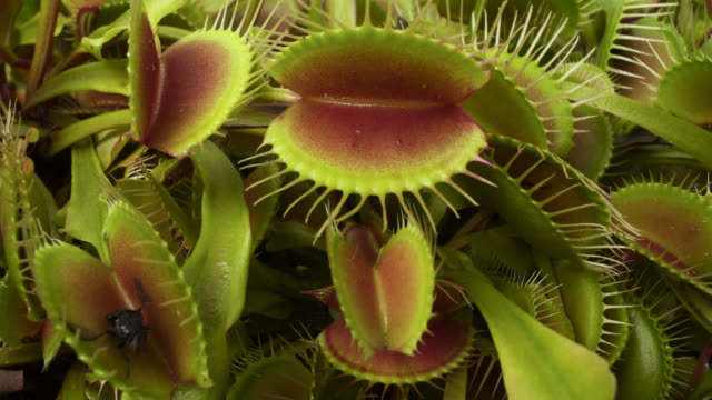 vídeos de stock, filmes e b-roll de tl rotate around growing venus flytraps, uk - carnivorous plant