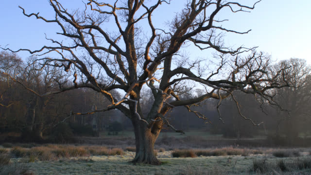 tl rotate around oak tree during winter sunrise, uk - oak tree stock videos & royalty-free footage