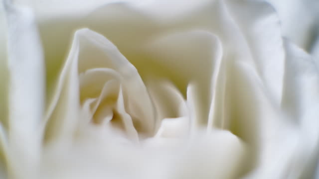 vidéos et rushes de tournez macro close up shot of beautiful blooming white rose flower - motif floral