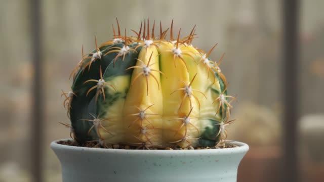 Rotation der schönen, saftigen Pflanze im Topf