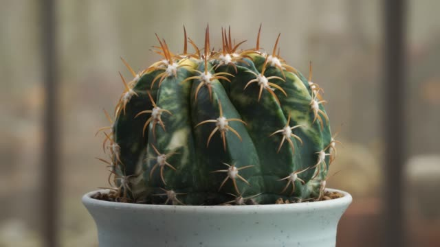 rotate of beautiful succulent plant in pot - thorn stock videos & royalty-free footage