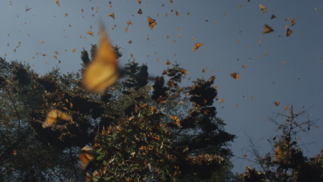 vídeos de stock, filmes e b-roll de la rotate with massed monarch butterflies flying in clearing - grupo grande de animais