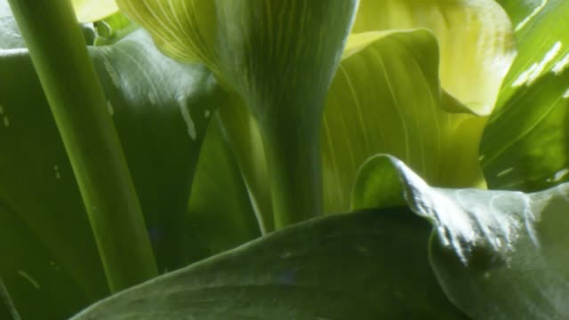 rotating calla lily - オランダカイウユリ点の映像素材/bロール