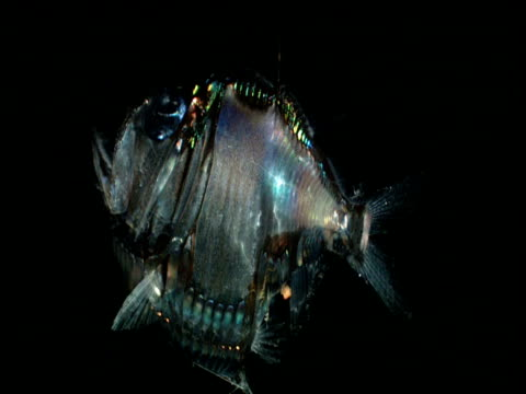 Rotating corpse of Silver hatchet fish (Argyropelecus aculeatus) reflects light, Gulf of Mexico