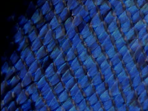 Rotating iridescent wing scales of butterfly