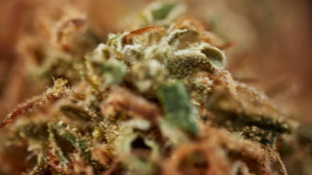 vídeos de stock, filmes e b-roll de rotating macro cannabis buds - cannabis sativa