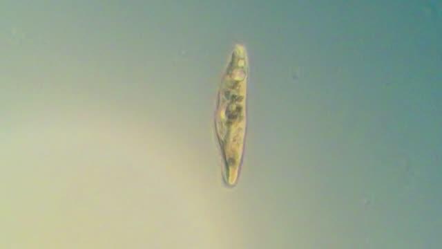 rotating paramecium caudatum - paramecio video stock e b–roll