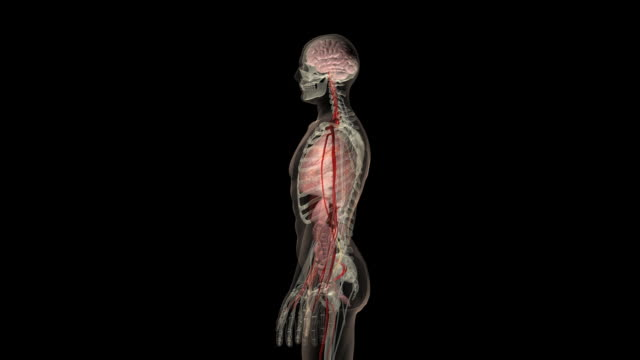 stockvideo's en b-roll-footage met rotation around the human body - anatomie