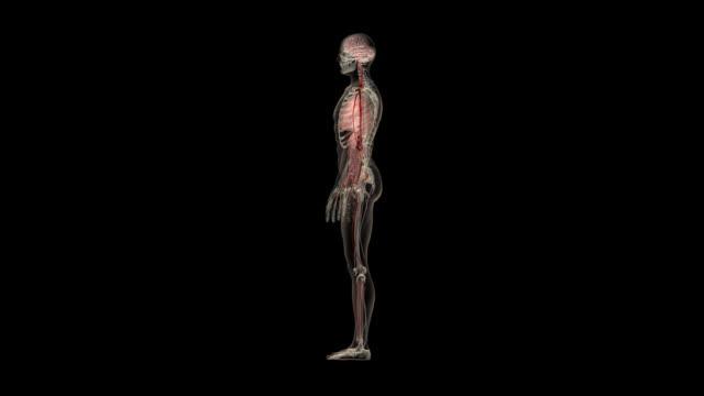 Rotation around the human body