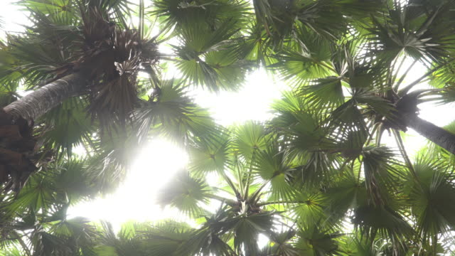 rotation low angle view: leave of sugar palm in garden, phetchaburi, thailand - lush stock videos & royalty-free footage
