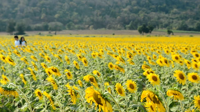 rotation panning: field of sunflowers in afternoon - common sunflower stock videos & royalty-free footage