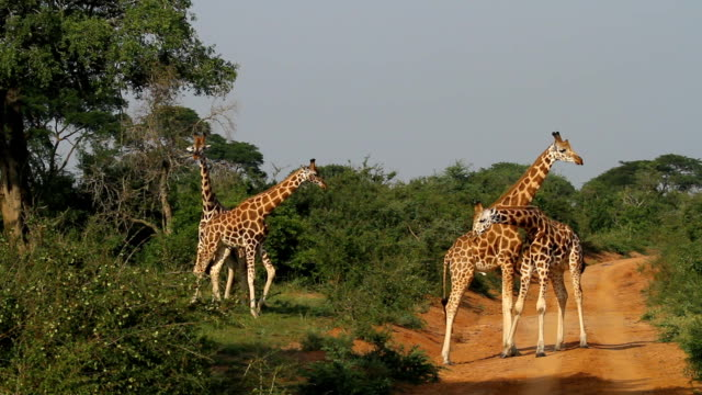 vídeos de stock e filmes b-roll de rothschild's giraffe - males fight 1 - áudio disponível online