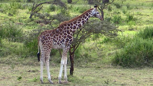 Rothschild's Giraffes eating acacia leaves, Lake Nakuru
