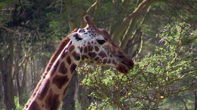Rothschild's Giraffes eating acacia leaves, using long tongue, Lake Nakuru