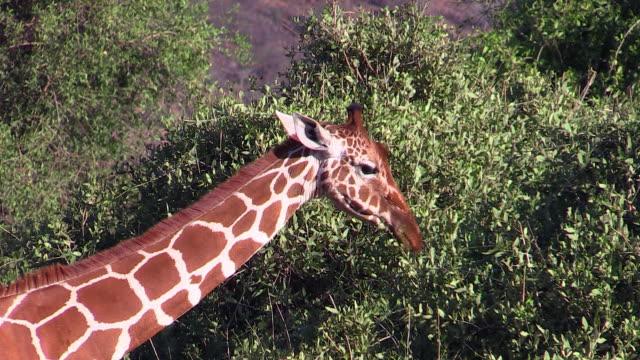 Rothschild's Giraffes stripping leaves, Lake Nakuru, Kenya