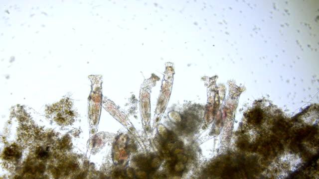 vídeos y material grabado en eventos de stock de rotifers - animal microscópico