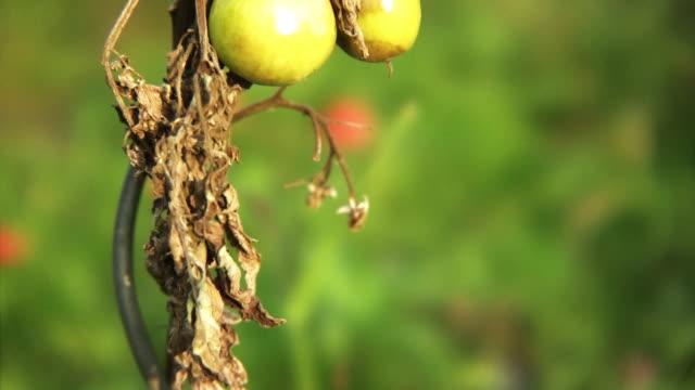vídeos y material grabado en eventos de stock de tomates putrefactos - pudrirse