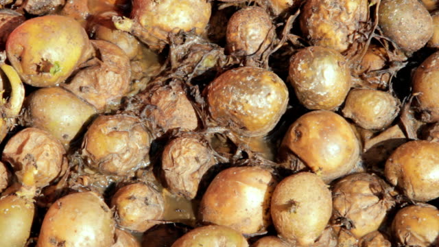 Rotten vegetables infested by flies and maggots