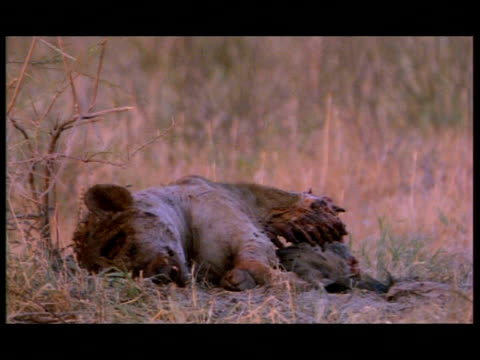ms rotting hyena carcass, botswana - ブンブン鳴る点の映像素材/bロール