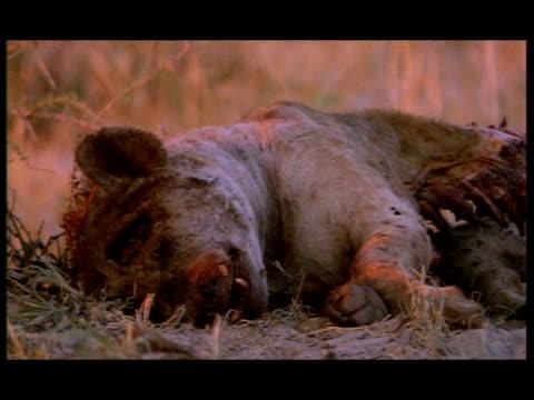 mcu rotting hyena carcass, botswana - ブンブン鳴る点の映像素材/bロール