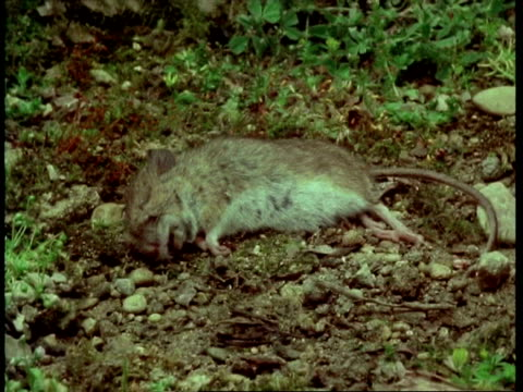 t/l - mcu rotting mouse - roditore video stock e b–roll