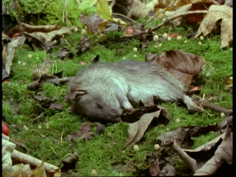 vídeos y material grabado en eventos de stock de t/l mcu rotting mouse - dead animal