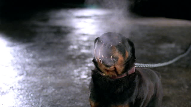 a rottweiler barks as he strains against his chain. - aggression stock videos & royalty-free footage