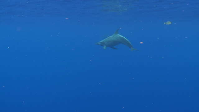 ms ts rough toothed dolphin / hawaii, united states - one animal stock videos & royalty-free footage