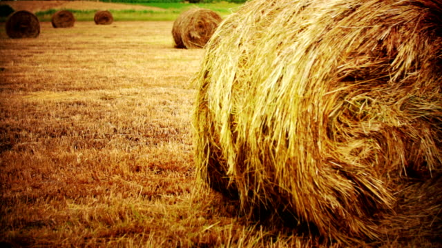 round hay bales in harvested wheat field. - hay stock videos and b-roll footage