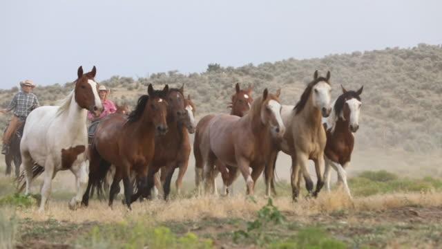 stockvideo's en b-roll-footage met roundup: temmen de kudde - groep dieren