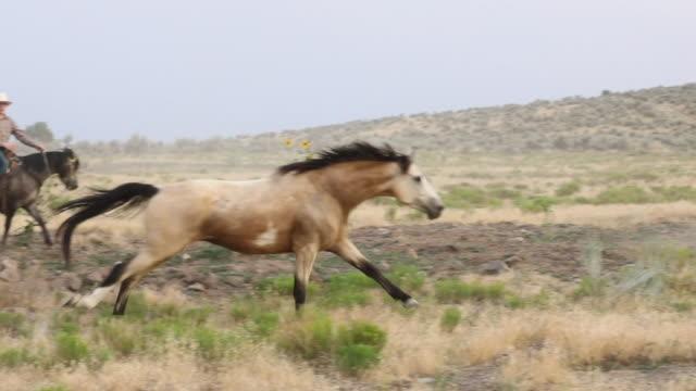 vídeos de stock e filmes b-roll de roundup: taming the herd - domesticado