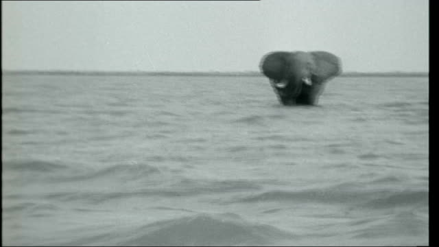 vídeos de stock, filmes e b-roll de dark heart of africa various shots of hippos mostly submerged in the water / hippo wallowing in mud with close up of head / pelicans taking off from... - vadear